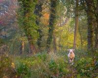 Le pecore hanno perso nel legno in Cotswolds immagine stock libera da diritti