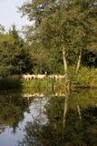 Le pecore hanno riflesso in un lago Fotografia Stock Libera da Diritti