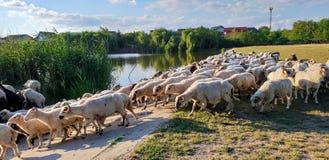 Le pecore hanno sentito Immagini Stock