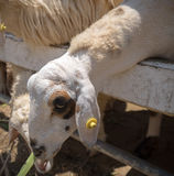 Le pecore mangiano Fotografie Stock