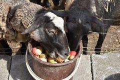 Le pecore mangiano le mele dal secchio Fotografia Stock