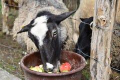 Le pecore mangiano le mele dal secchio sopra il recinto Fotografie Stock Libere da Diritti