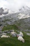 Le pecore in montagne delle alpi in Baviera, Germania Fotografie Stock Libere da Diritti