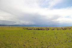 Le pecore nel Tibet Fotografia Stock Libera da Diritti