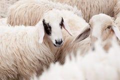 Le pecore nell'azienda agricola stanno aspettando l'alimento Fotografia Stock