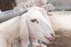 Le pecore nell'azienda agricola stanno aspettando l'alimento Fotografia Stock Libera da Diritti