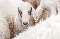 Le pecore nell'azienda agricola stanno aspettando l'alimento Fotografie Stock Libere da Diritti