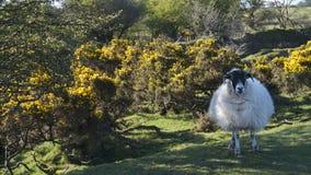 Le pecore nella tonalità su Bodmin attraccano, Cornovaglia, Regno Unito Immagini Stock