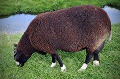 Le pecore nere Fotografie Stock Libere da Diritti