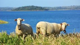 Le pecore pascono. Immagini Stock