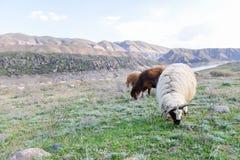 Le pecore pascono nel prato di estate fotografia stock