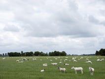 Le pecore pascono in prato erboso verde vicino a Emmeloord nel netherl immagini stock