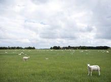 Le pecore pascono in prato erboso verde vicino a Emmeloord nel netherl fotografia stock