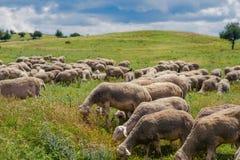 Le pecore pascono su un prato della montagna al tramonto della Grecia Immagine Stock Libera da Diritti
