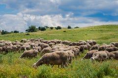 Le pecore pascono su un prato della montagna al tramonto della Grecia Fotografie Stock Libere da Diritti