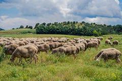 Le pecore pascono su un prato della montagna al tramonto della Grecia Immagini Stock