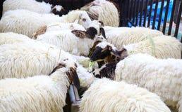 Le pecore pascono in un campo Fotografia Stock