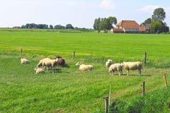 Le pecore pascono in un prato Fotografie Stock Libere da Diritti