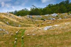 Le pecore pascono in un prato negli altopiani del Montenegro Fotografia Stock Libera da Diritti