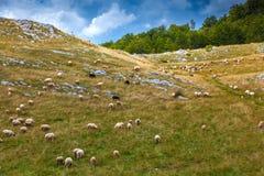 Le pecore pascono in un prato negli altopiani del Montenegro Immagini Stock