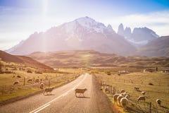 Le pecore radunano il pascolo a sheepfarm sulla strada a Torres del Paine Immagini Stock Libere da Diritti