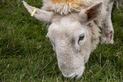 Le pecore radunano l'azienda agricola sui gras verdi in primo piano della Scozia Immagini Stock Libere da Diritti