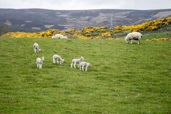 Le pecore radunano l'azienda agricola sui gras verdi in Scozia 2 Fotografia Stock
