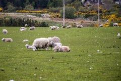 Le pecore radunano l'azienda agricola sui gras verdi in Scozia Immagine Stock