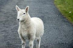 Le pecore radunano l'azienda agricola sui gras verdi in Scozia 3 Fotografia Stock