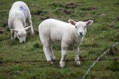 Le pecore radunano l'azienda agricola sui gras verdi in Scozia 5 Fotografia Stock