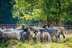 Le pecore si avvicinano all'albero di estate Fotografie Stock