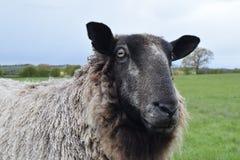Le pecore si chiudono in su Fotografie Stock Libere da Diritti