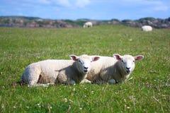 Le pecore si chiudono in su, isola di Iona Immagini Stock
