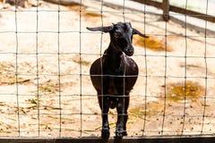 Le pecore stanno da solo Fotografia Stock