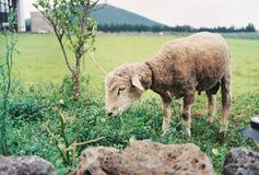 Le pecore stanno pascendo immagini stock