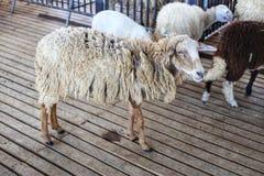 le pecore stanno sul pavimento di legno nella stalla immagini stock