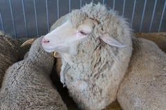 Le pecore sull'azienda agricola stanno trovando sul pavimento del granaio Fotografie Stock