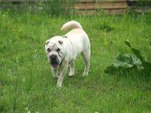 Le pei shar blanc marche sur l'herbe Images libres de droits