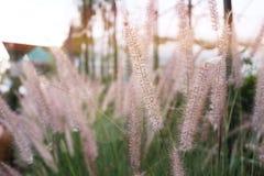 Le Pennisetum, herbe ornementale plumes, fleur d'herbe dans le jardin Photo libre de droits