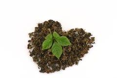 Le pentaphyllum chinois Thunb Makino de Gynostemma de nom de Jiaogulan sec et les feuilles ont arrangé dans une forme de coeur Image stock