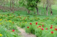 Le peonie rosse fioriscono nella riserva della steppa a Zau de Campie, la contea di Mures, la Transilvania, Romania immagini stock