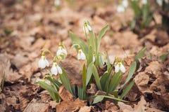 le perce-neige frais de ressort fleurit dans les femmes heureuses de forêt jour la carte d'invitation du 8 mars macro tir de foye Photographie stock libre de droits