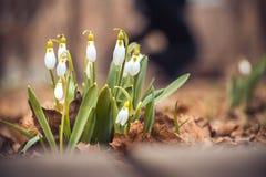 le perce-neige frais de ressort fleurit dans les femmes heureuses de forêt jour la carte d'invitation du 8 mars macro tir de foye Photo libre de droits