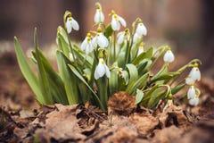 le perce-neige frais de ressort fleurit dans les femmes heureuses de forêt jour la carte d'invitation du 8 mars macro tir de foye Image stock