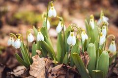 le perce-neige frais de ressort fleurit dans les femmes heureuses de forêt jour la carte d'invitation du 8 mars macro tir de foye Photos stock