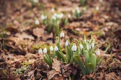 le perce-neige frais de ressort fleurit dans les femmes heureuses de forêt jour la carte d'invitation du 8 mars macro tir de foye Image libre de droits