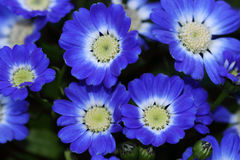 Le Pericallis blanc bleu Senetti fleurit aux quarts étroits Photo stock