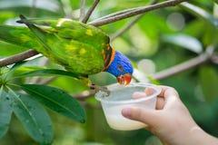 Le perroquet alimente dans le zoo de Singapour avec la main humaine Images libres de droits