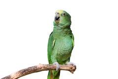 Le perroquet avec les clavettes jaunes vertes a isolé Photographie stock libre de droits