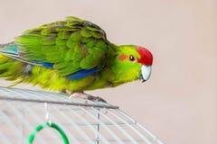 Le perroquet coloré se repose sur une cage et veut trouver le food_ photo libre de droits
